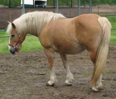 16919 Лошадь, порода Авелинская