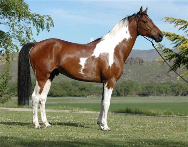 16924 Лошадь, порода Австралийская пастушья (Уолер)