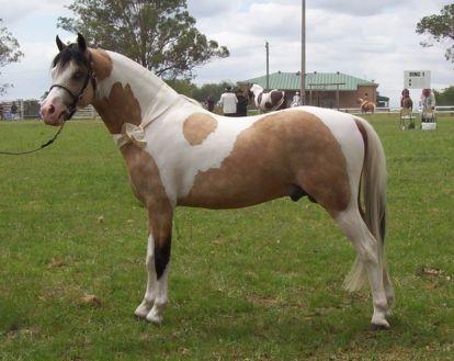 Лошадь, порода Австралийский пони