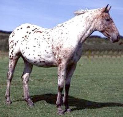 Лошадь, порода Алтайская