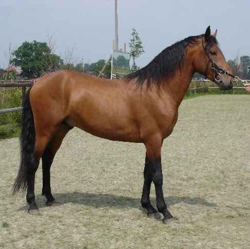 Лошадь, порода Альтер-реал