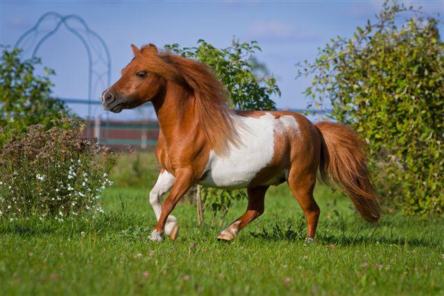 17450 Лошадь, порода Американская миниатюрная