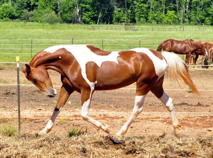 17453 Лошадь, порода Американская верховая