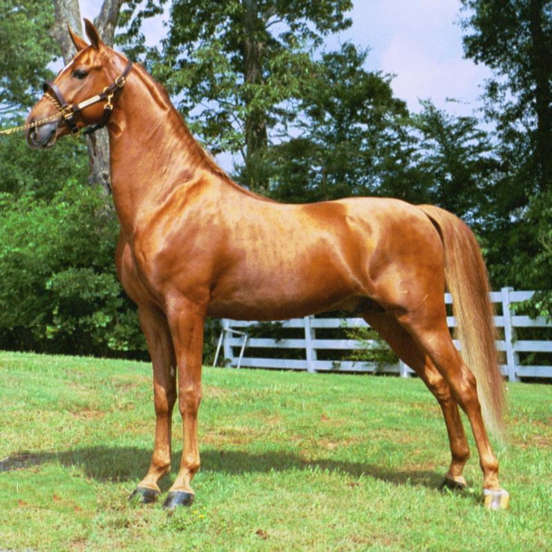 Лошадь, порода Американский квартер
