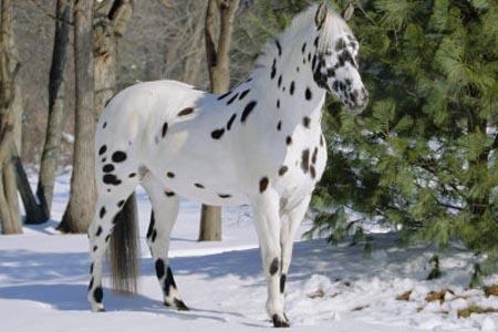 Лошадь, порода Аппалуза