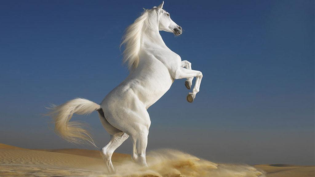 Лошадь, порода Арабская или Аравийская