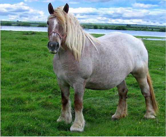 Лошадь, порода Бельгийская