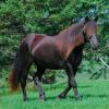 Лошадь, порода Канадская фото - 4540 100x100