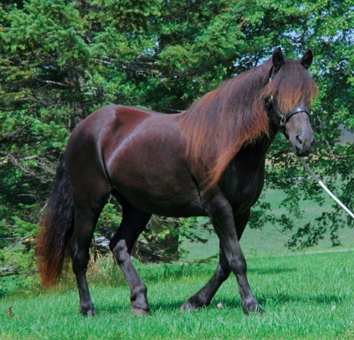 Лошадь, порода Канадская