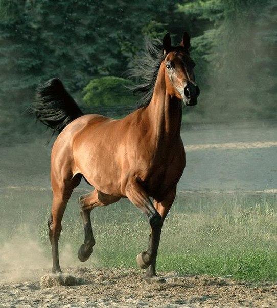 Лошадь, порода Каспийская