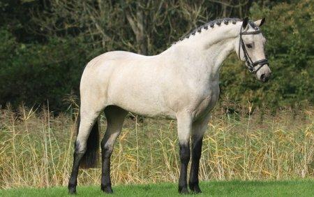 Лошадь, порода Пони Коннемары