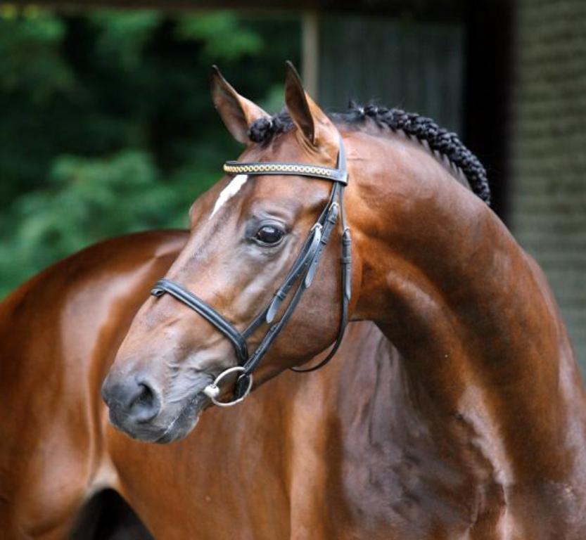 Лошадь, порода Голландская теплокровная