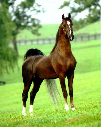 Лошадь, порода Рабочая или Хакни