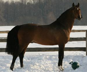 Лошадь, порода Голштинец