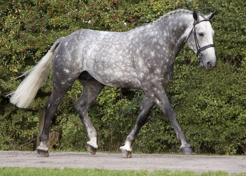 Лошадь, порода Ирландская спортивная