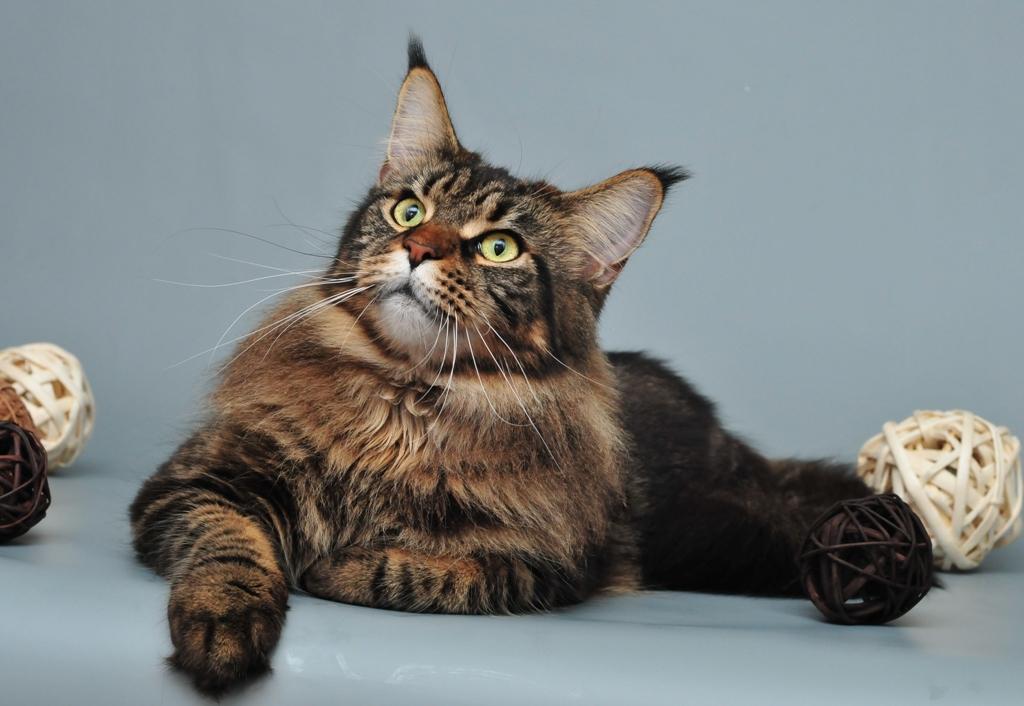 Кошка, порода Мейн-кун