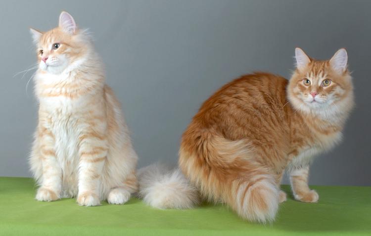 Кошка, порода Сибирская