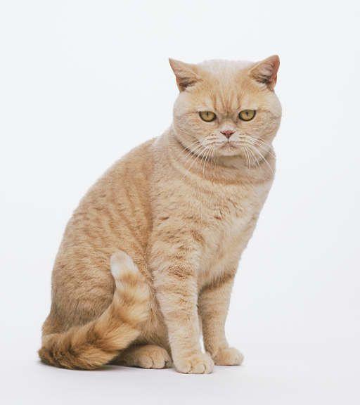 Кошка, порода Британская короткошерстная