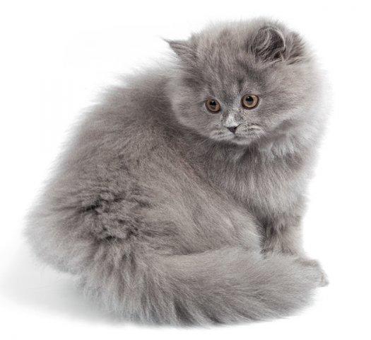Кошка, порода Британская длинношерстная (Хайлендер)