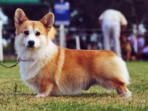 Собака, порода Вельш Корги Пемброк