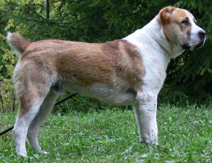 Собака, порода Среднеазиатская овчарка