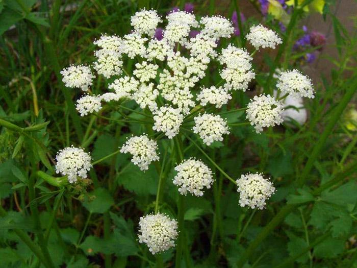 18548 Растение Анис обыкновенный