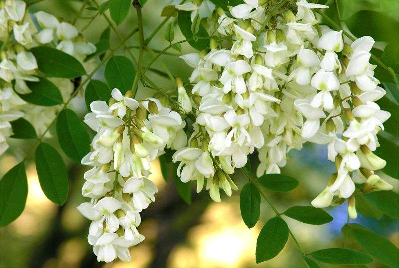 Дерево Акация белая