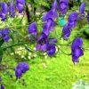 Растение Аконит джунгарский