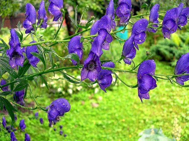 18636 Растение Аконит джунгарский