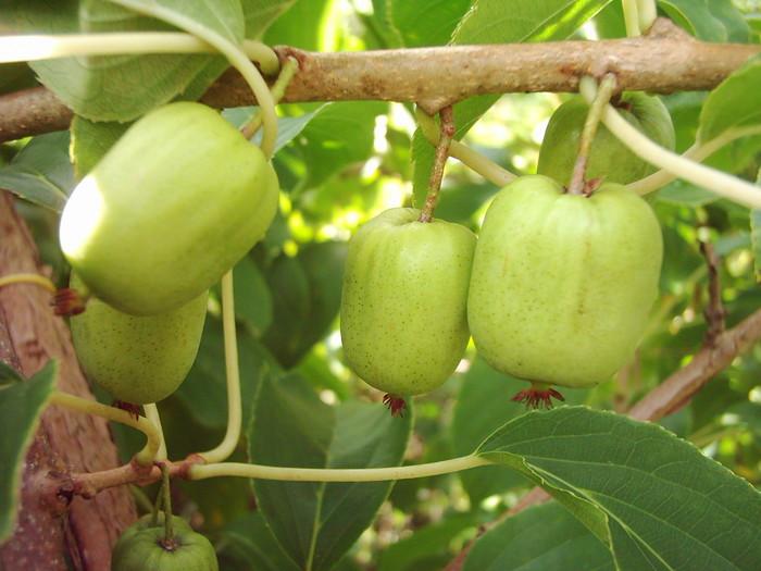 Растение Актинидия