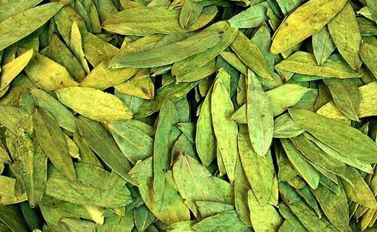 Растение Александрийский лист