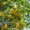 Дерево Алыча фото - 4857 100x100