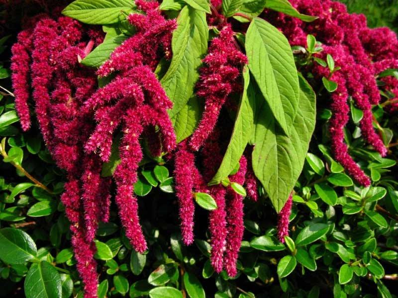 18652 Растение Амарант