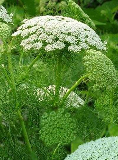 18655 Растение Амми зубная