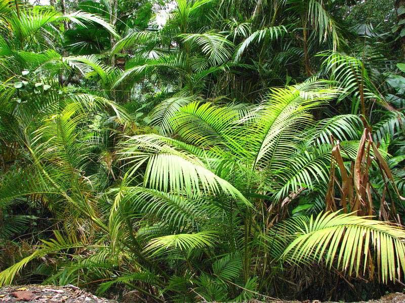 18676 Арековая пальма