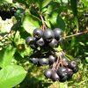 18685 Кустарник Арония черноплодная