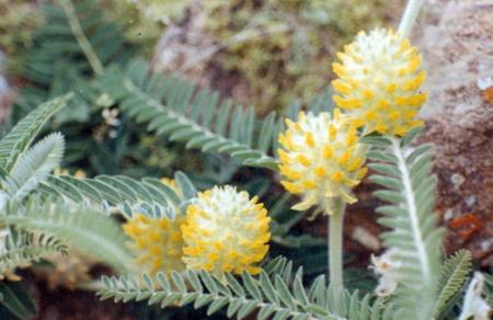 18916 Растение Астрагал шерстистоцветковый