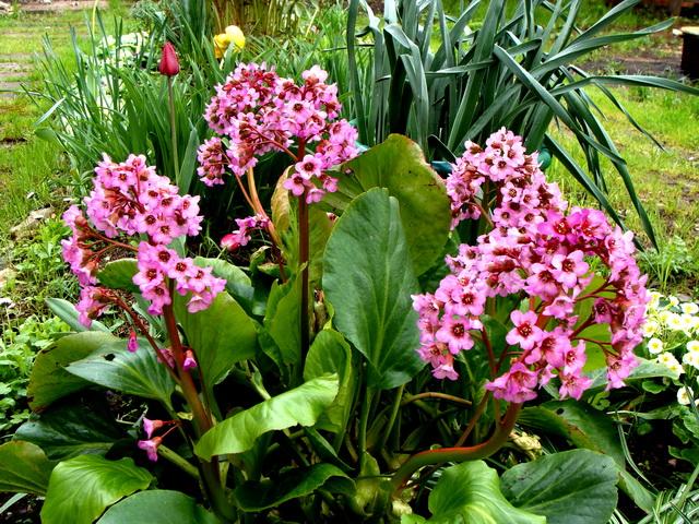 Растение Бадан толстолистный