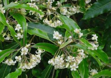 Бальзамовое дерево
