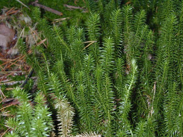 Растение Баранец