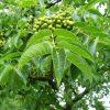 Дерево Бархат амурский