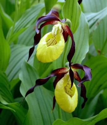 Растение Башмачок настоящий (черная трава)