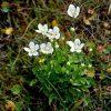 Растение Белозор болотный