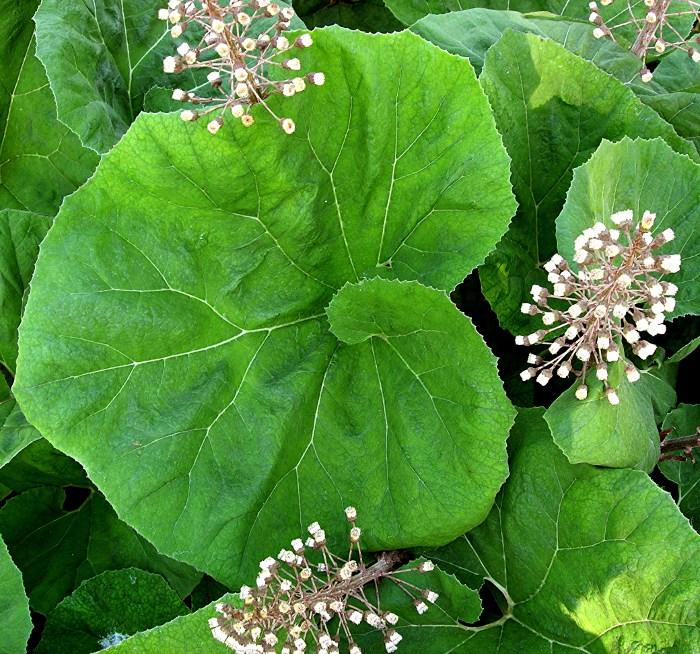 Растение Белокопытник