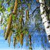 Дерево Береза белая