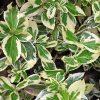Растение Бересклет фото - 4917 100x100
