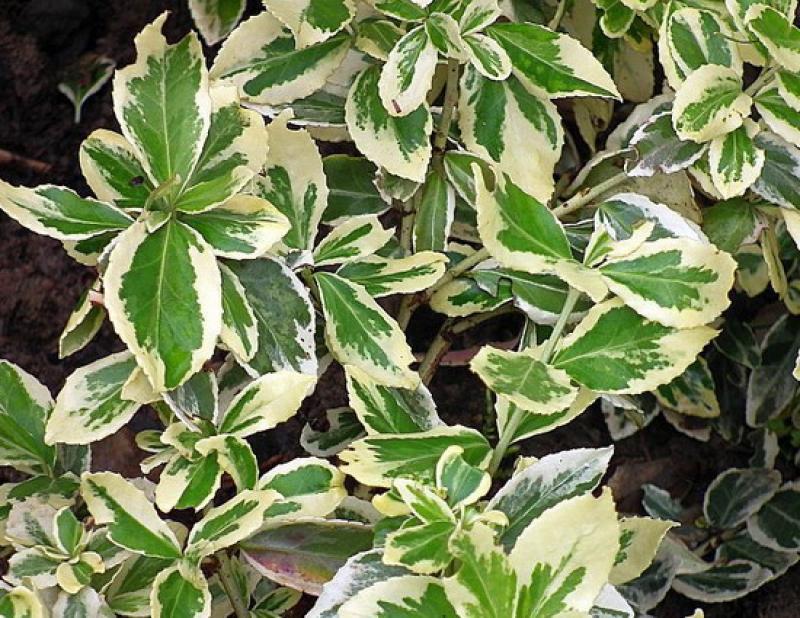 18986 Растение Бересклет