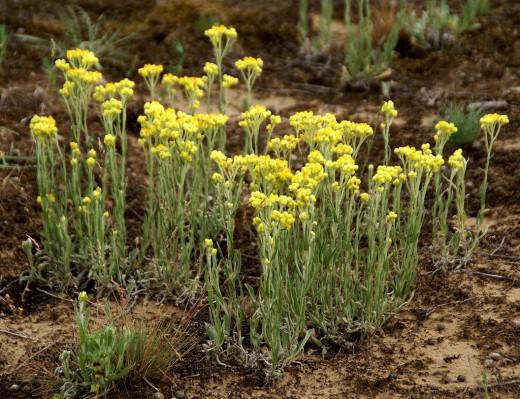 18992 Растение Бессмертник песчаный