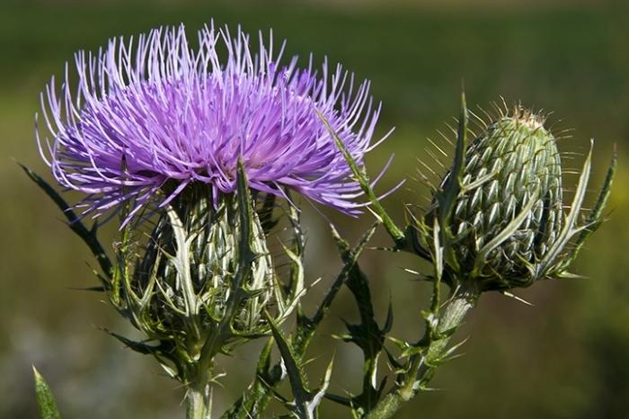 Растение Бодяк