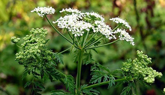Растение Болиголов крапчатый